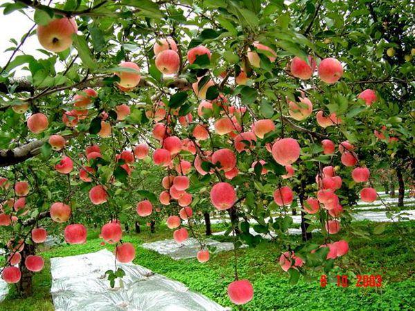 采摘-苹果